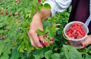 Senior woman picking raspberries in the garden, Image: 117877900, License: Royalty-free, Restrictions: , Model Release: yes, Credit line: Profimedia, Alamy