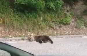 vlašić medvjed